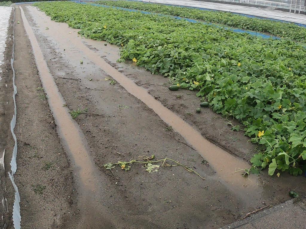 雨に沈む冬瓜畑