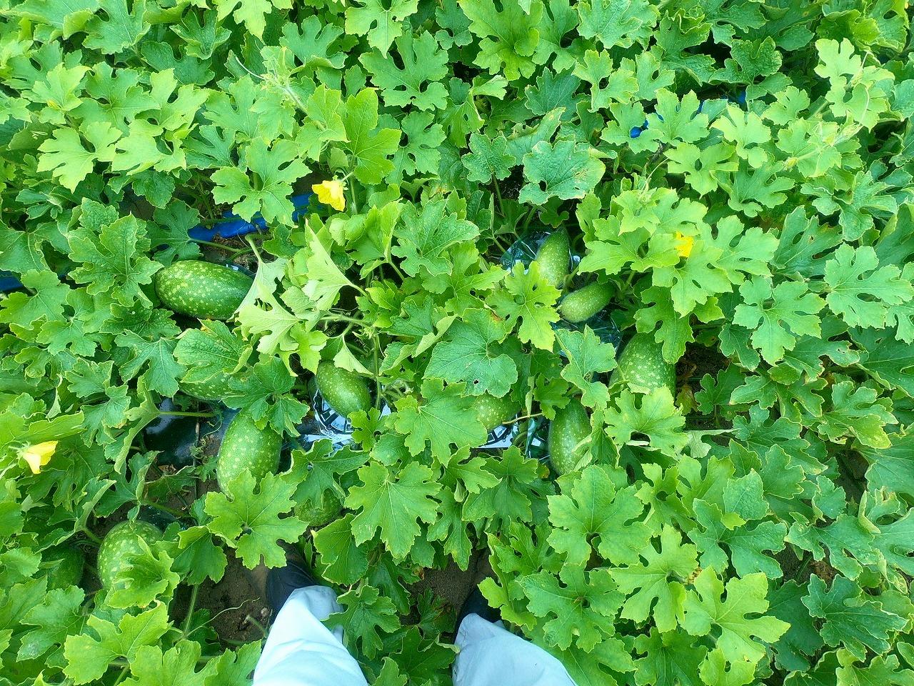 冬瓜が畑にたくさんなっている