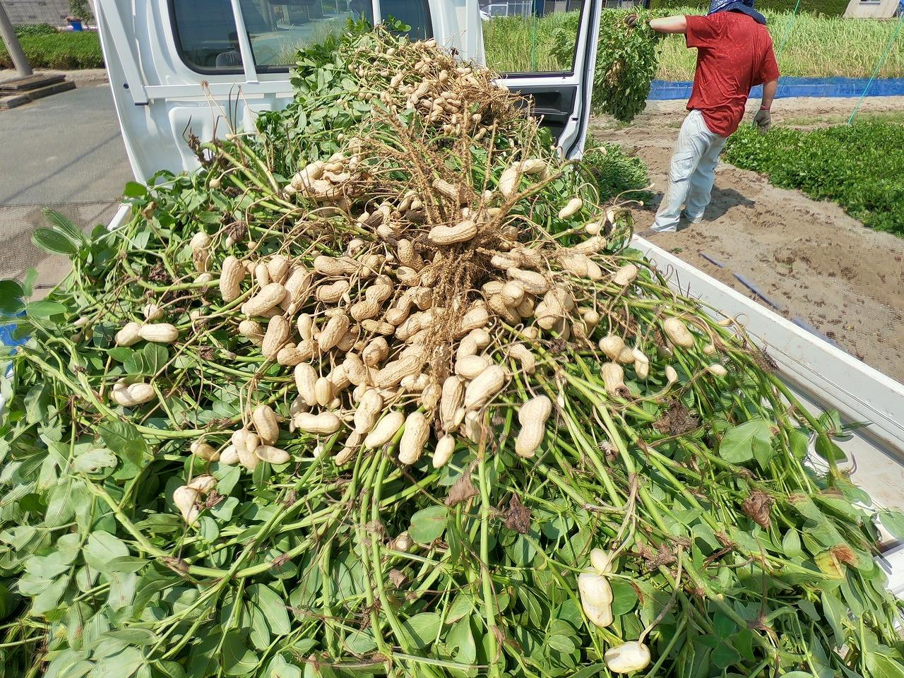 ジャンボ落花生収穫